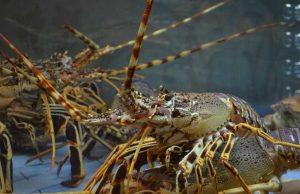 Petani Induk Lobster Air Tawar di Purworejo