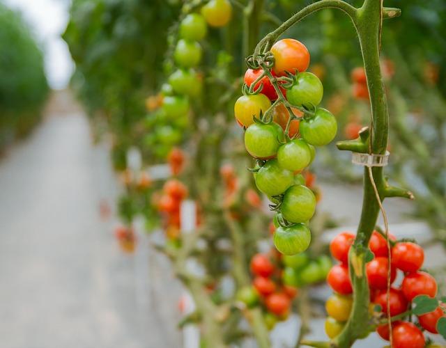 tomatoes-3446424_640